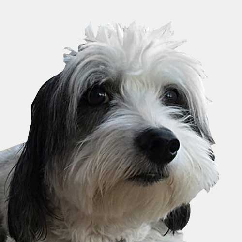 portrait of dog with white and black hair